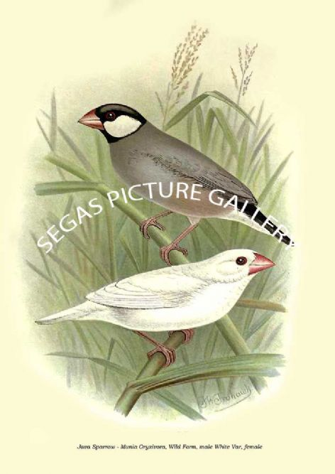 Fine art print of the Java Sparrow - Munia Oryzivora, Wild Form, male White Var, female by the Artist Frederick William Frohawk (1899)